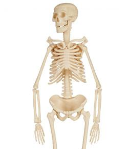 changes in the human musculoskeletal system The human skeleton is the internal framework of the body  skeletal system resources in your library.