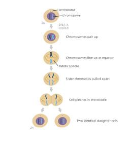 Mitosis And The Cell Cycle Quiz