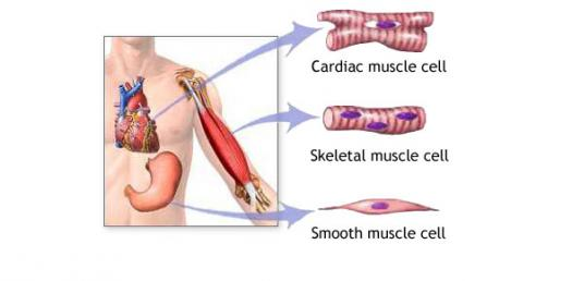 Muscle And Nervous Tissue Quiz
