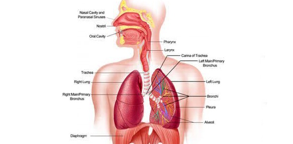 Multiple choice quiz on respiratory system quiz proprofs quiz which of these is the job of the respiratory system ccuart Choice Image