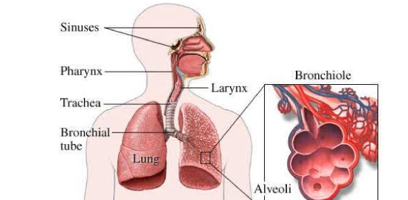 Multiple choice quiz on respiratory system quiz proprofs quiz the two major organs of the respiratory system where the gas exchange takes place and carbon dioxide is given off and oxygen taken in ccuart Choice Image