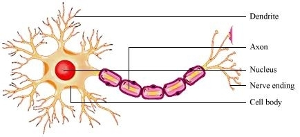 Mr leavens nervous system prepost assessment proprofs quiz answer the muliple choice questions on the nervous system ccuart Choice Image