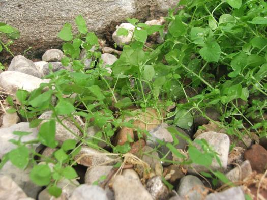 Amu Ukrudt / Weeds