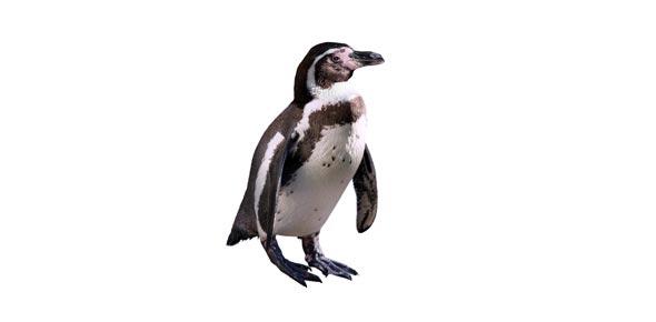 Miller Penguin Chick