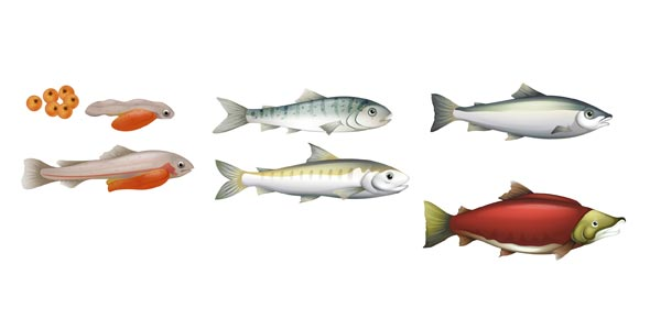 Pacific Salmon Life Cycle