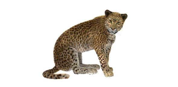 Am I A Snow Leopard