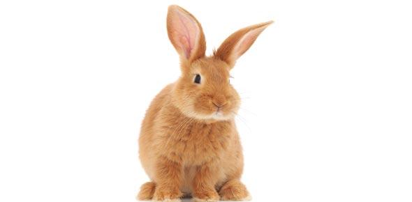 The Himalayan Rabbit Quiz!