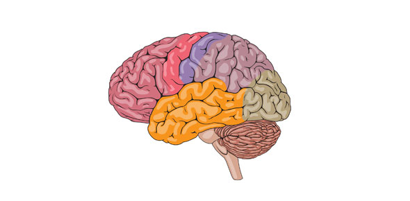 Parts Of The Brain Diagram Quiz Best Brain 2018