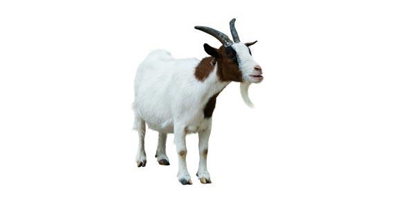 Goat Toxicity