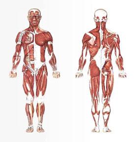 06 3D Animation - Muscular Skeleton