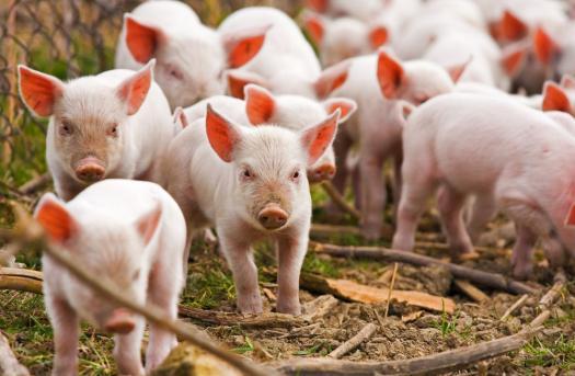 -    Pig Handling Skills    -