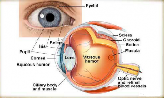 do you know all eye parts? - proprofs quiz, Cephalic Vein