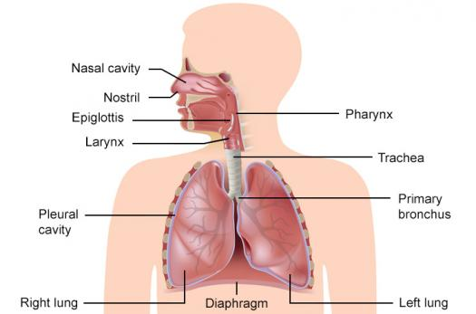 20 questions on the respiratory system - proprofs quiz, Human Body