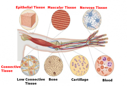 Can You Identify These Body Tissues - ProProfs Quiz