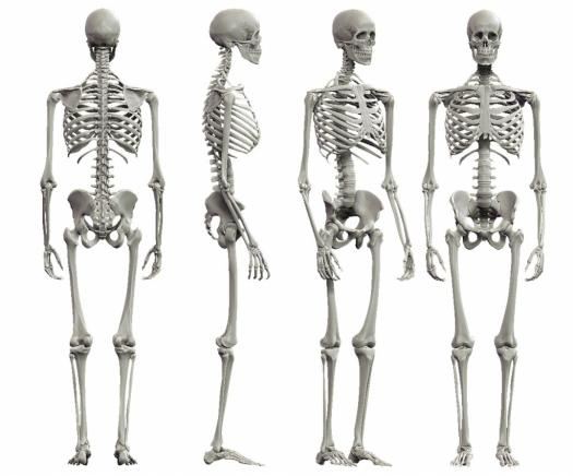 Quiz on human skeletal system proprofs quiz quiz on human skeletal system ccuart Choice Image
