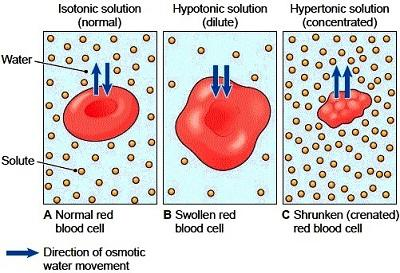 Advanced Science: Diffusion And Osmosis Quiz (2nd Trimester, 2014-2015)