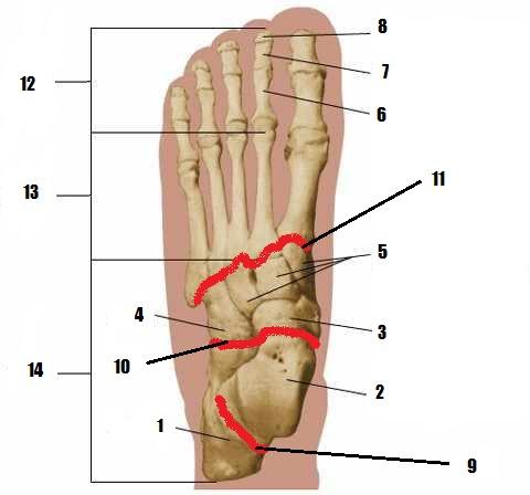 Ortho 4 - Foot Anatomy & Talipes Equinus - Dpt - Cairo Uni.