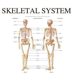 Skeletal System II Exam Prep Quiz - ProProfs Quiz