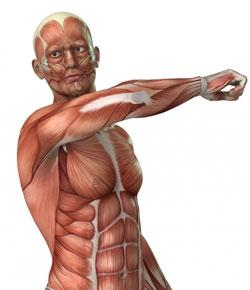 Chapter 7-muscular System