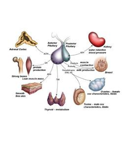 Endocrine Quizzes Online, Trivia, Questions & Answers