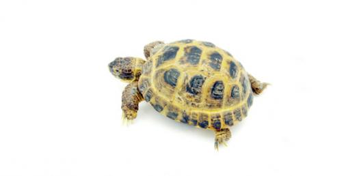 What Is A Baby Turtle Called?