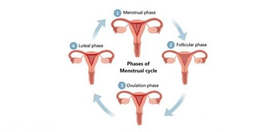Puberty And Menstrual Cycle