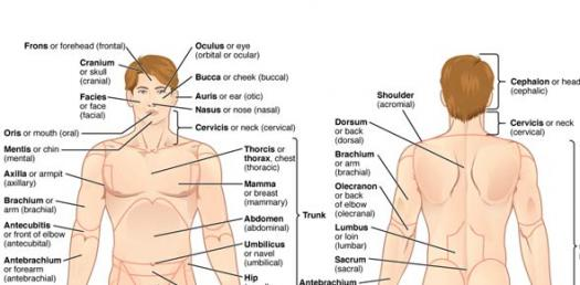 Anatomical Terminology Quiz - ProProfs Quiz