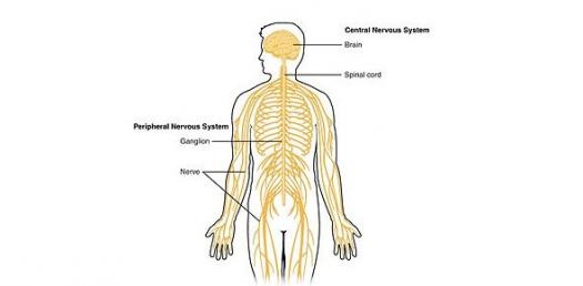 Chapter 10: Nervous System - ProProfs Quiz