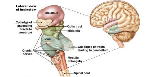 Semester 2 Neuro, Week 2 - Brainstem