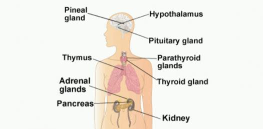 Learn About Endocrine System Quiz - ProProfs Quiz