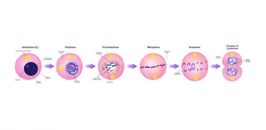 Phases of cell cycle and mitosis quiz proprofs quiz phases of cell cycle and mitosis quiz ccuart Choice Image
