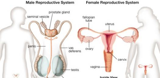 Male & Female Reproductive System Quiz - ProProfs Quiz