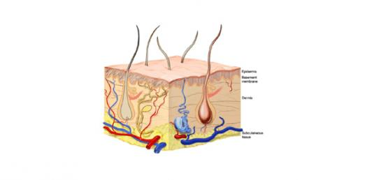 Layers Of Skin Integumentary System - ProProfs Quiz