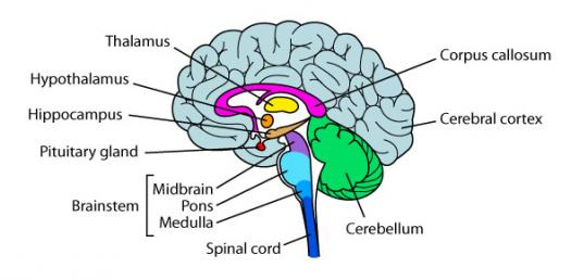 Parts Of The Brain Quiz