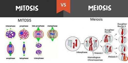 Mitosis and meiosis quiz questions proprofs quiz mitosis and meiosis quiz questions ccuart Choice Image