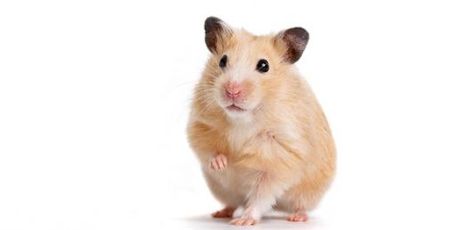 how to tell what kind of hamster you have