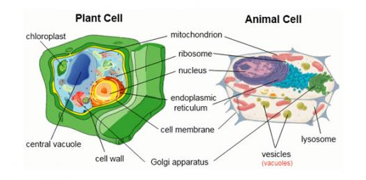Animal Vs  Plant Cells
