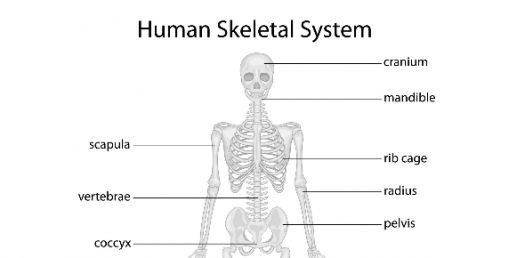 Quiz On Human Skeletal System ProProfs Quiz – Skeletal System Diagram Worksheet