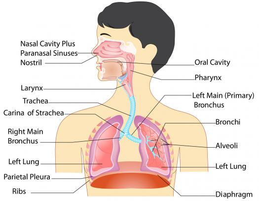 Multiple Choice Quiz On Respiratory System Quiz