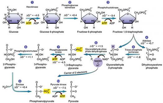 Glycolysis & Fermentation Quiz Questions
