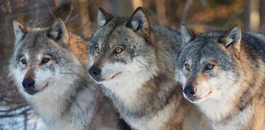 What Wolf Breed Are You?