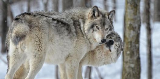 What Breed Of Wolf Are You?