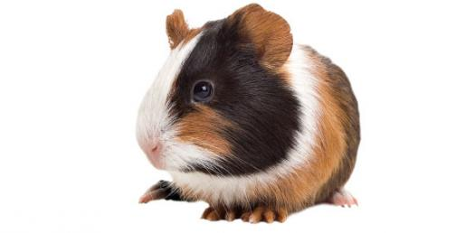 What Do You Know About Guinea Pigs?
