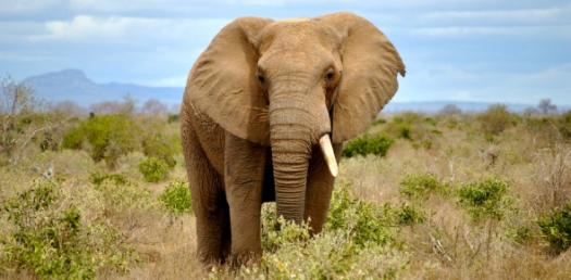 A Trivia Quiz On African Elephants