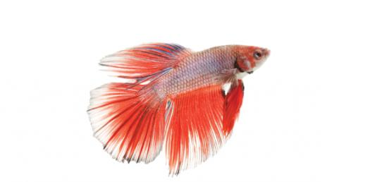 What Betta Fish Are You You?