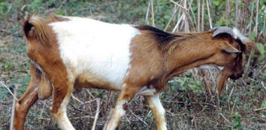 West African Dwarf Goat Quiz