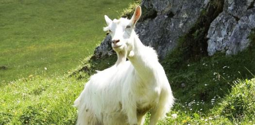 Do You Know The Appenzell Goat? - ProProfs Quiz