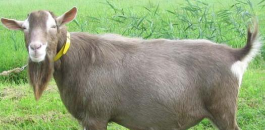 How Much Do You Know About The Toggenburg Goat?