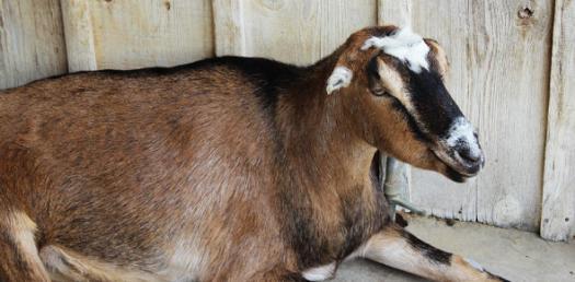 American Lamancha Goat Quiz