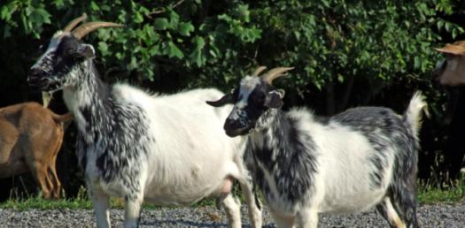 Test Your Knowledge About The Fainting Goat